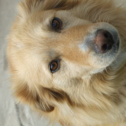 Lost dog on 05 Oct 2014 in Palmerstown Dublin 20. Lost in Palmerstown Manor, Palmerstown, Dublin 20 on Sunday 5th October from 4pm.  Looks like a golden retriever.  Age: 11 years Contact: Bernard McCarthy at 087 8178988