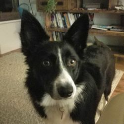 Lost dog on 06 Apr 2017 in Oranmore, Co Galway. My name is Luna, I'm a black & white border collie aged 14 months. I got lost on the 05th April in Clochog, Oranmore. I'm quite scared of strangers but if you see me, please let my owners know: 087-9397196 085-7700324  Reward offered
