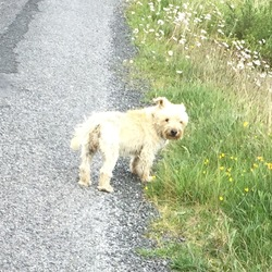 Lost dog on 06 Aug 2015 in Furbo, Spiddal, Co. Galway. Cairn Terrier, answers to the name Misty. Missing Thursday morning the 6th in the Furbo area of Galway. Please call Noelle at 0868681373
