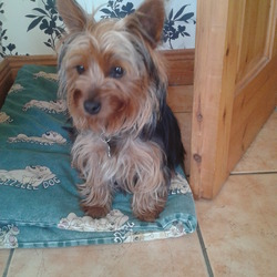 Lost dog on 06 Dec 2013 in carrigaline co cork. addorable family pet 1 year old yorkie bitch black and tan called minnie went missing friday evening in the bridgemount area of carrigaline. she is very playful and a happy dog but is not used to being off the lead and may be very frightened and nervous.