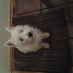Lost dog on 06 Feb 2014 in Tallaght dublin aylesbury . Small female white west high land terrier missing from Dublin Tallaght Aylesbury. Wearing a purple collar saying