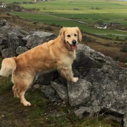 Lost dog on 06 Feb 2018 in Co Clare . Millie, a golden retriever is lost since Tuesday 6 Feb.  Last seen in Corofin, Co. Clare.  She's wearing a red leather collar and has a black nose.  Very friendly and much loved dog.
