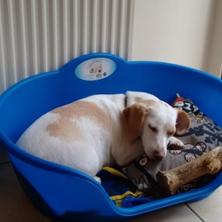 Lost dog on 06 Jan 2015 in ballymun. Meggi is white beagle with white patches. She is 1,5 year old. On the 6th of January she was nocked by car and in shock run away from me. Meggi is chipped. We can't find her please call 0833036099 of you find her.