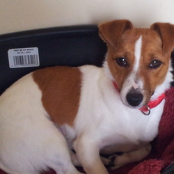 Lost dog on 06 Jan 2015 in Galway. Missing from Lackagh in Co. Galway since 6th Jan. 1yr old female jack russell called Ruby. Has been neutured and microchipped. Was wearing red collar when she went missing.