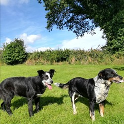 Lost dog on 06 Jan 2018 in Ballinasloe. These two dogs along with a black and tan spaniel missing please contact 0879783122 if you think you see them