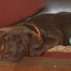 Lost dog on 06 Jul 2015 in Donadea prosperous . Brown lab cross puppy