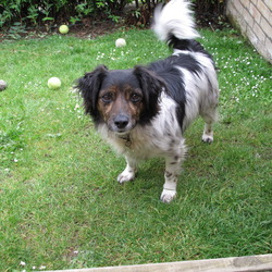 Lost dog on 06 Jun 2012 in Greystones, Co Wicklow. 6 year old male small mixed breed dog went missing in Greystones, Co Wicklow- very loved family pet - male, black and white, like a small sheep dog - black face, neutered.