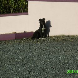 Lost dog on 06 Jun 2013 in Kerrykeel County Donegal. 1 year old female labrador/sheep dog mix
