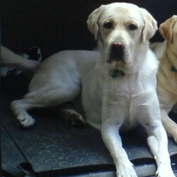 Lost dog on 06 Jun 2015 in Glanmire, Cork. Beautiful 11 year old male yellow labrador (almost white)