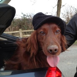 Lost dog on 06 Mar 2014 in Co Meath. 4 year old Red Setter, Male, Missing since Tues 5th March from Athboy/Kells Co Meath Chipped/Brown leather collar.Contact 086 6607134