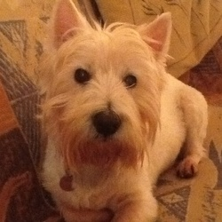 Lost dog on 06 Mar 2015 in Ridgewood Swords. Megan a 10 year old Westie w