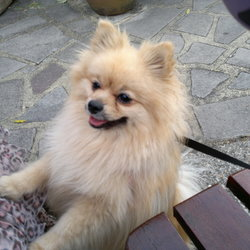 Lost dog on 06 Mar 2017 in Orpington, Kent. Nico was near Ramsden Road Monday 6th March and suddenly disappeared. He's a neutered 6-year-old male and responds to his name. He is microchipped. (No collar) Much loved by family so we would be grateful for any information at all. Thank you.