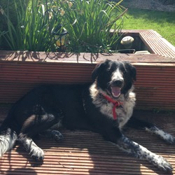 Lost dog on 06 May 2014 in Ashbourne. Male collie cross wearing red collar missing from Kilmooon/Ashbourne area.