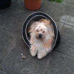 Lost dog on 06 Nov 2012 in Dublin 5. Pomapoo, Poodle x Pom.  Tan & White