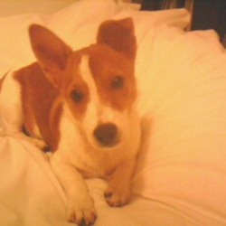 Lost dog on 06 Oct 2012 in Kildare,Leixlip . 6 month male Jack Russell white and brown. His back is all brown ,his chest is white has a long tail, cute and adorable. PLease please call me if you know anything about this puppy ,he means the world to me . I'm very worried about him. Please help me find my beloved pet.