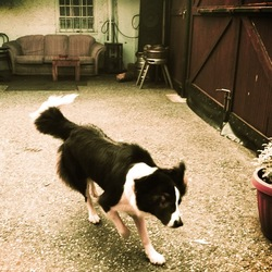 Lost dog on 06 Oct 2012 in Thomastown, KIlkenny. Bonnie is a two year old border collie who ran off in the castlecomer area of KIlkenny on saturday the 6th of October.She is wearing a red collar with white bones on it.please help us find her: Gillian 0862634556