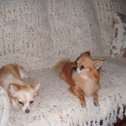 Lost dog on 06 Oct 2013 in Waterford . Two Chihuahuas, Brown male, and Creamy white Female, lost/stolen from Waterford, they are missing since October 2013, Also reported lost in Newross.