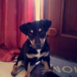 Lost dog on 06 Oct 2014 in carlow. lost...your lovely little dog poppy went missing or taken today she is six months old black and gold she has a medical condition which needs tables everyday so if you see her pick up we will collect her any where .she missing or taken in the rathoe co.carlow area tanks for reading please call 0892131661