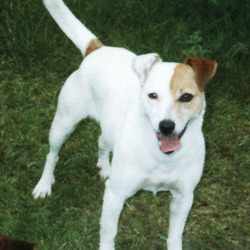 Lost dog on 07 Apr 2013 in Greenhills, Dublin 12. Meg went missing from Killians Ave. on the afternoon of Sunday April 7th. She is a very friendly Jack Russell and loves nothing more than to curl up on someones lap. If you have any information please contact 0874072800 or message me through this site. Thanks in Advance