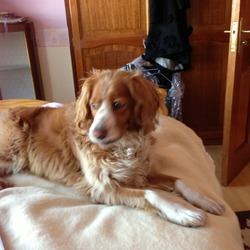 Lost dog on 07 Apr 2013 in sligo. Missing-mixed breed springer tan and white in colour. went missing from the Ballysadare area in Sligo- contact Ann 071 9167546 if seen or for safe return. reward