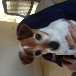 Lost dog on 07 Aug 2013 in Punchestown. Small female jack Russell, White with browm markings.