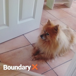 Lost dog on 07 Aug 2017 in Bewley, willsbrook area in Lucan, Dublun. Golden Pomeranian Medium size