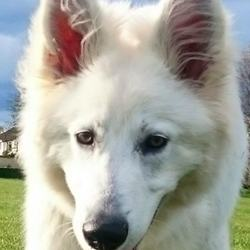 Reunited dog 08 Aug 2017 in Hartstown Clonsilla. REUNITED Lost Cara - White Swiss Shepherd. Female -gentle and timid. Chipped.
