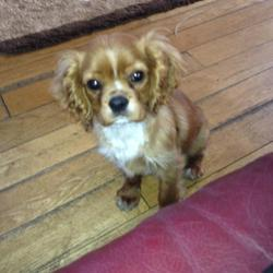 Lost dog on 07 Dec 2012 in Bundoran Co.donegal. Missing Cavalier King Charles Bundoran. 5 months old male golden brown, white on chest. distinct black spot on stomach.