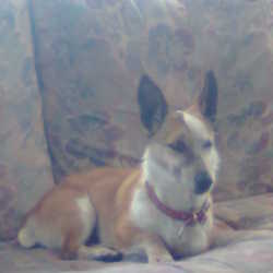 Lost dog on 07 Dec 2013 in ballyfermot. 8yr old jack Russell went missing at 9.30pm sat the 7th dec near the lawns area in cherryorchard ballyfermoy