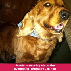 Lost dog on 07 Feb 2013 in Rathcoole. ***JESSIE IS STILL MISSING!!!*** SUBSTANTIAL REWARD OFFERED FOR JESSIE'S SAFE RETURN Hi All, Jessie is still missing - she is gone since the evening of Thursday 7th Feb in Rathcoole, Co. Dublin area. She is a thorough bred, red Cocker Spaniel aged about 5. She is spayed. Please contact Grainne Forde (0879589216) if you have seen her.