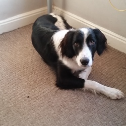 Lost dog on 07 Feb 2016 in Dublin. black and white collie cross. blue collar. lost in the phoenix park on SUnday morning 7th of Feb.