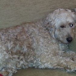 Lost dog on 07 Jan 2015 in Cabinteely - Kilbogget Park. Labradoodle, 4 years old, golden/apricot.  Lost this evening 7th Jan 2015 in Cabinteely (Kilbogget Park).