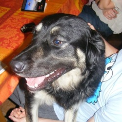 Lost dog on 07 Jun 2013 in Rush co.dublin. Black and Tan collie X,male neutered wearing a blue collar.very friendly.missing from Rush Co.Dublin.Reward offered please contact 0863824217 if you have any info