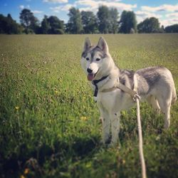 Lost dog on 07 Jun 2014 in Leilxip/Maynooth/Celbridge/Clane/kildare area. White and grey female husky with brown eyes lost around kildare area please contact on 0834142445 or 0851471377