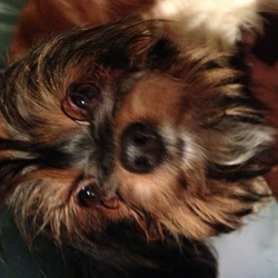 Lost dog on 07 Mar 2014 in Ballytore rd rathfarnham, spotted Mt. Carmel hospital . 1 yr old minature Yorkshire terrier, 3kg. Black and Tan with 1 white-ish paw and some whit on chin/chest. Very nervous and may run, call coco and may come to you.