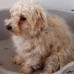 Lost dog on 07 Mar 2014 in Maynooth. 2 year old cream bishon cross with terrier lost in Maynooth on Friday 7th of March around 8:30 am. He responds to the name Noah. Please contact me if you see him 086 1671 426