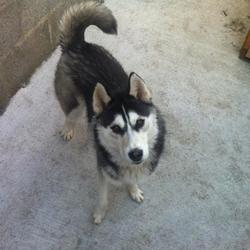 Lost dog on 07 May 2013 in ArdCollum Ave, Artane, D5. Our female Huskie pup Alfie got out of  back garden in Ardcoullum Avenue, Artane, late Tuesday 7th May. She is very friendly and a much loved family pet. We are very worried about her and quite anxious to get her back. She is wearing a pink collar and is microchiped. Any infromation would be much appreciated. Please call either call me (Niall) on 0831517671 or Nichola on 0851763200 with any information at all.