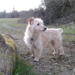 Lost dog on 07 Nov 2015 in Drana,Glynn,St.Mullins, Co.Carlow. Sandy/Wheat coloured male un-neutered terrier with short tail 9yrs old. Missing from Dranagh mountain area between Glynn and Drummond St.Mullins area of Co.Carlow