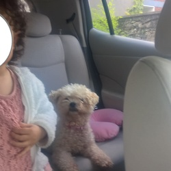 Lost dog on 07 Nov 2017 in Santry,Rathmines. White Bichon Frise, loved by three children, 10 years old. Lost in Dublin Rathmines but reported seen in Santry 7th November...