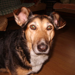 Lost dog on 07 Oct 2012 in Forestry off R765 Newtownmountkennedy Co Wicklow. 5 year old Cross German Shepherd Labrador Collie? Colour Black White Tan. Micro chipped and medal on collar with mob no 0879047713. Still missing (March 2013).