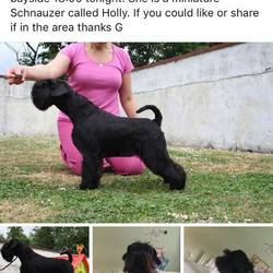 Lost dog on 07 Oct 2015 in Dublin 13. Mini Schnauzer Black Female  Pls call (086) 793 2681