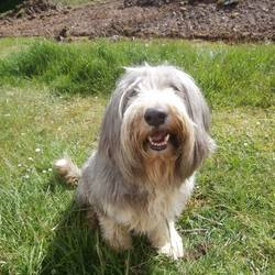 Lost dog on 07 Sep 2013 in Rosenallis. LOST - Much loved family pet - 8 year old Bearded Collie. Missing from the Rosenallis area of Laois.  Hair is slightly shorter than in the pics now.