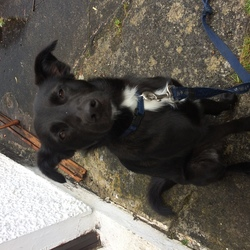Found dog on 07 Sep 2017 in Dublin 7. Charlie is a collie cross black with a white cross on his chest and greying haunches. He is 15 months old has a blue collar and was lost last night in pheonix park.