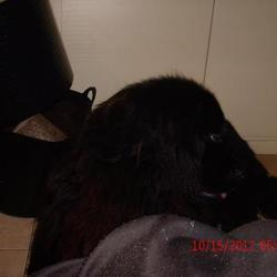 Lost dog on 08 Apr 2013 in  Limerick. 5 year old male black Newfoundland stolen from Pallasgreen/Templebraden, Co.Limerick Contact Tommy on 086-8338620