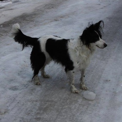 Lost dog on 08 Aug 2013 in Dublin 12. This is Bella, she is 9 years old, went missing in the Crumlin area of Dublin 12 on Thursday 8th Aug. If found or seen please call 0851406944