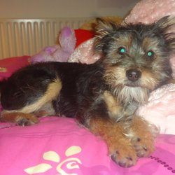 Lost dog on 08 Aug 2013 in Lucan,Dublin. Dog missing from lucan area.yorkshire terrier cross jack Russell ,male,responds to the name tobie(toby),no collar and not chipped ,black/brown in colour ,3 years old . Contact 0851323755, 0871184407 or 4447216