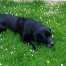 Lost dog on 08 Aug 2015 in Rochestown Cork. !2 Year Old Black Labrador , greying around mouth, chain collar , answers to