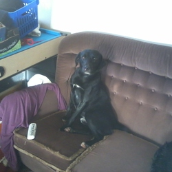 Lost dog on 08 Dec 2012 in Galway. MALE black Lab Cross with white on chest and paws, if anyone has seen him please text or call 0834146400