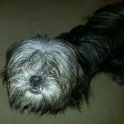 Lost dog on 08 Dec 2012 in knocklyon. 8 month old black and grey shitzu male dog, family pet answers too the name beau.