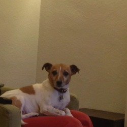 Lost dog on 08 Dec 2013 in UCD, Clonskeagh. LOST IN UCD. Small Jack Russell white and brown with long legs and long tail. Female 13 years old and microchipped.